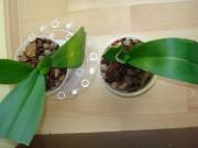 Phalaenopsis - wiotkie liście - Page 2 76b239139713404